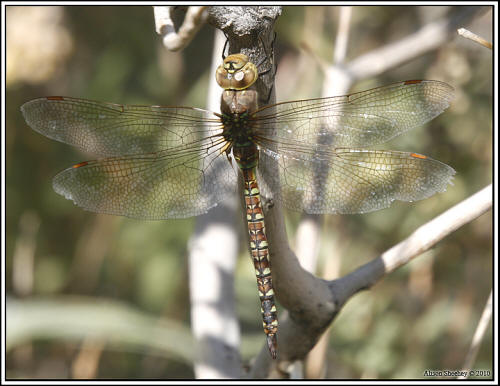 Blue-eyed Darner - female © Alison Sheehey