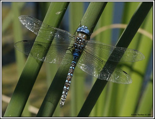 Blue-eyed Darner - male © Alison Sheehey