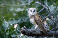 Several great photographs by our staff and guest can be found by clicking this photo of a Barn Owl by Bo Criss