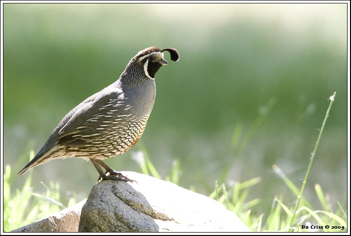 California Quail by Bo ChrisS
