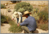 Birdie Foster and Sean Rowe harvest seeds for planting on revegetation sites along Audubon Kern River Preserve's Fay Creek � Alison Sheehey 2011