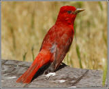 Summer Tanagers arrive for nesting season at the end of April and leave in early September at Audubon Kern River Preserve headquarters � Alison Sheehey 2011
